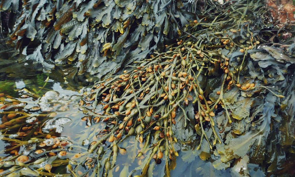 Makroalgen werden als Speisealgen in Nordeuropa wild und in Zuchtanlagen kultiviert